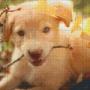 Labrador - Labrador - 12 rbp