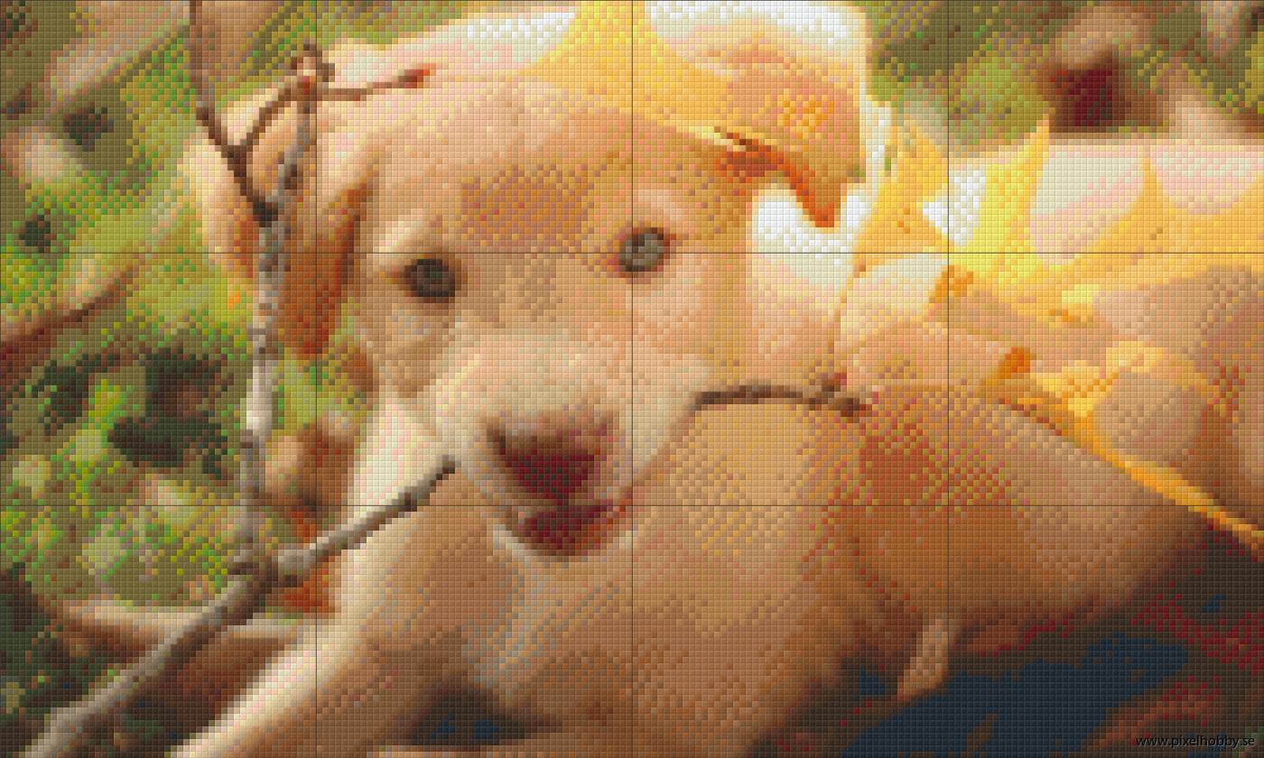 Labrador 12 rbp.phd