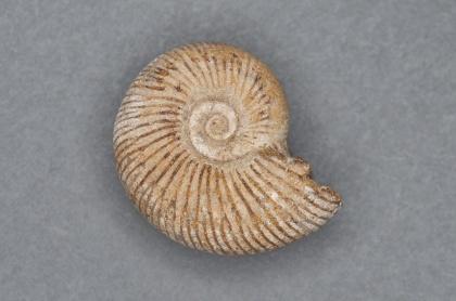 Perisphinctes sp. Jura, ca 160 mijoner år sedam (Madagaskar).