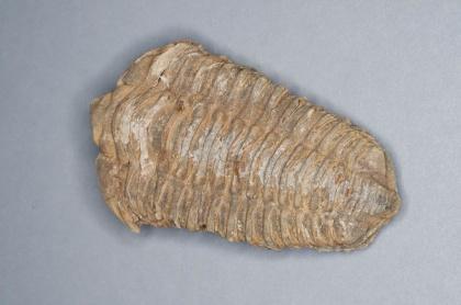 Flexycalymene sp. Devon, ca 380 miljoner år sedan (Marocko).