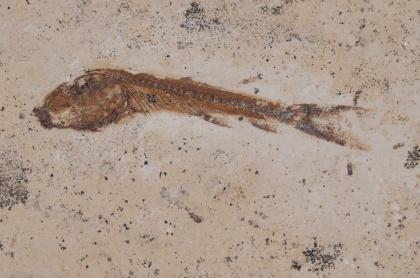 Dastilbe elongatus, Krita, cirka 110 miljoner år (Brasilien).