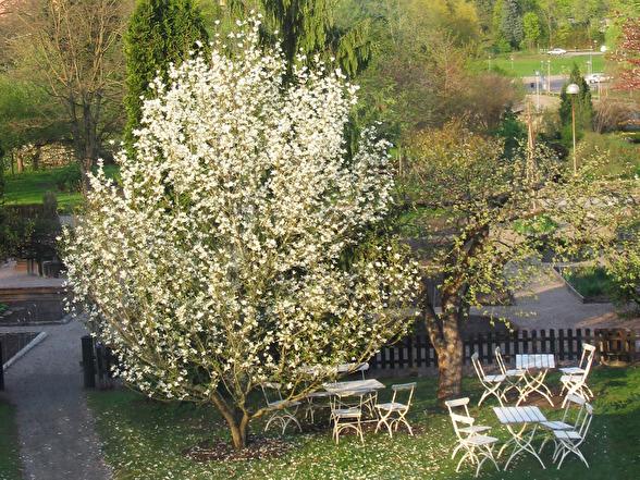 Magnolia kobus, japansk magnolia. Botaniska trädgården i Uppsala