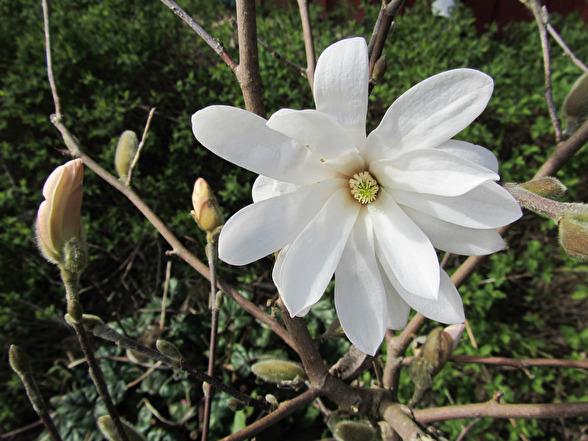 Magnolia stellata, stjärnmagnolia