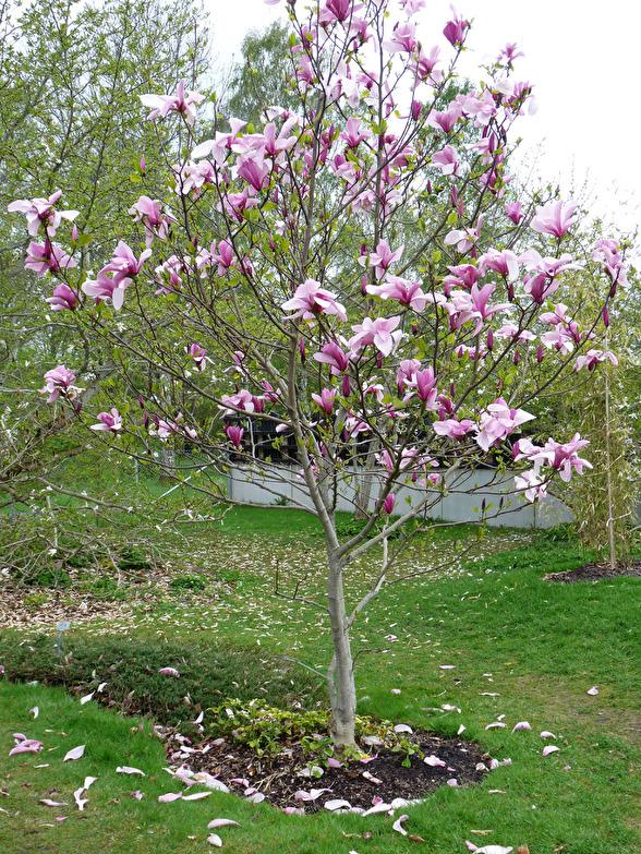 Magnolia 'Leonard Messel', hybridmagnolia