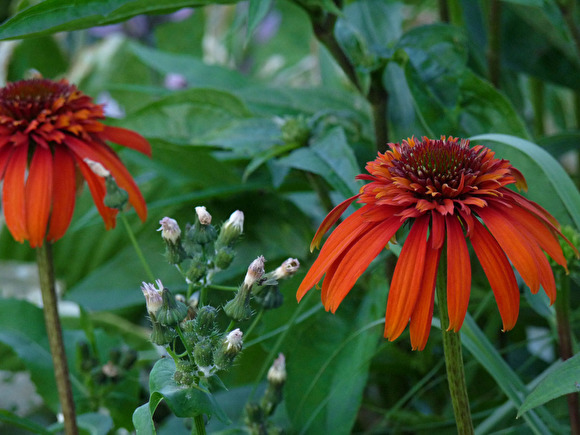Röd solhatt, Echinacea 'Hot Papaya'