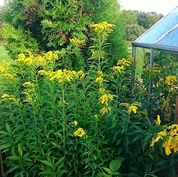 Gullrisets nya växtplats vid växthus-hörnan i min trädgård.