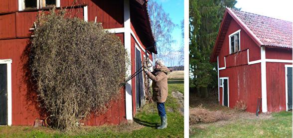 Klematisens ägare i klippartagen. Bilderna visar före och efter klippningen.