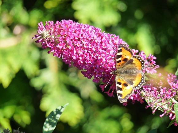 Buddleja eller fjärilsbuske. Här sorten 'Buzz Pink Purple'.