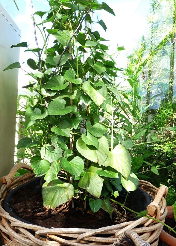 Sötpotatisplantan blev en riktigt fin klätterväxt i växthuset.