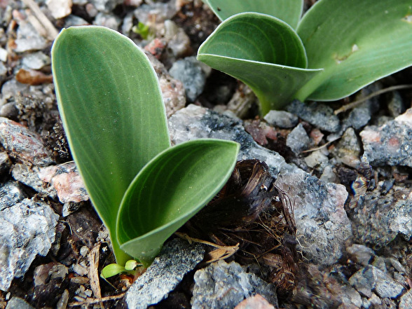 Min lilla hosta-planta 'Blue Mouse Ear'