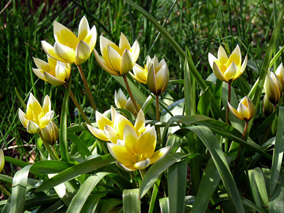 Tulipa tarda, flocktulpan