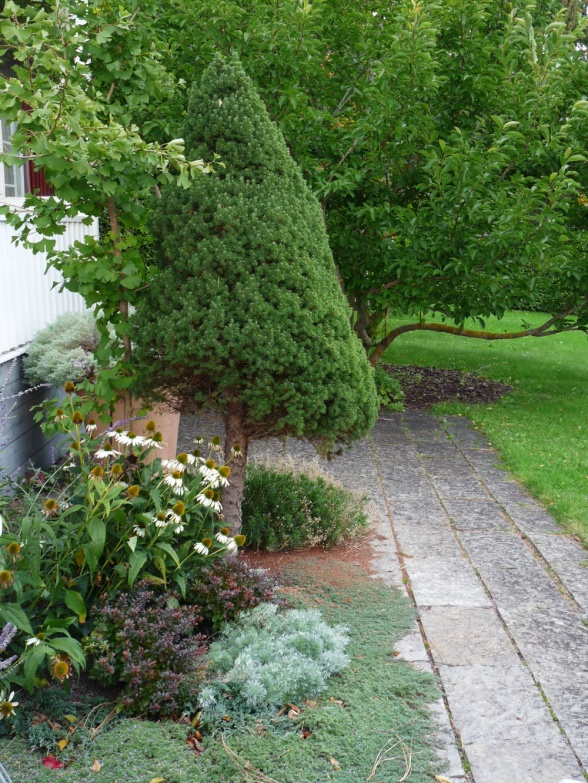 Här har en sockertoppsgran stammats upp för att ge plats åt fler växter i rabatten. Ett bra sätt även för andra barrväxter om de tar för stor plats eller om man vill få ett nytt uttryck.