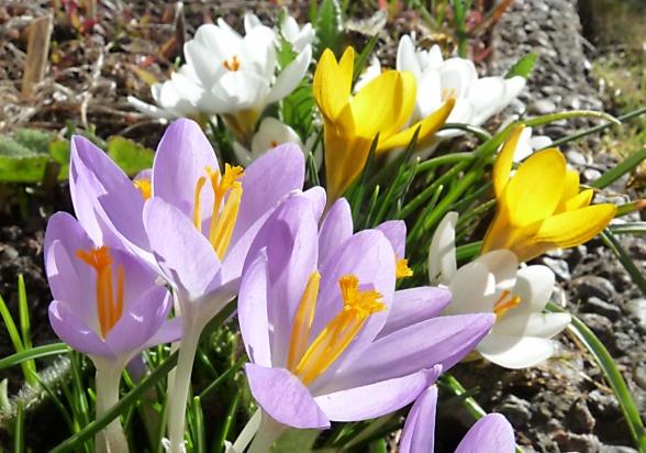 Färgglada krokus på våren är en juvel att njuta av.