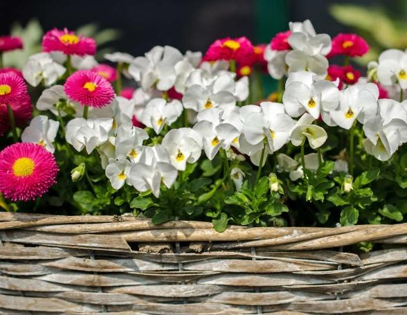 Vita penséer gör sig fint tillsammans med de charmigt rosaröda blommorna hos tusensköna.