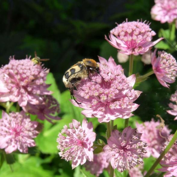 En humlebagge som uppenbarligen gillar - och pollinerar - stjärnflockans blommor.