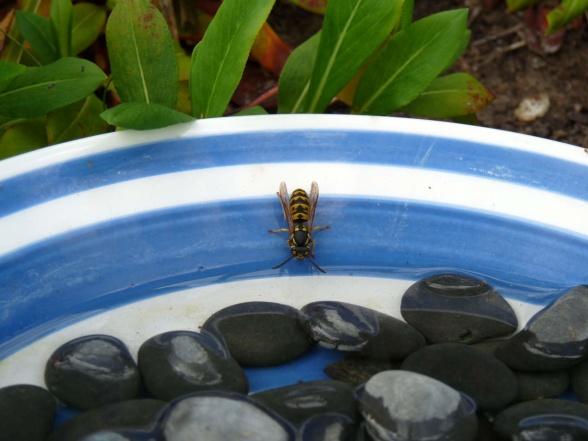 Getingar är nyttodjur som hjälper till genom att äta skadedjur. De behöver också vatten.