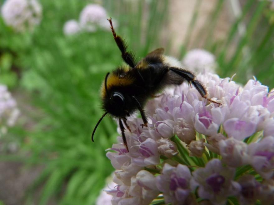 Hjälp oss genom att plantera mer pollenrika växter verkar den här humlan vilja säga.