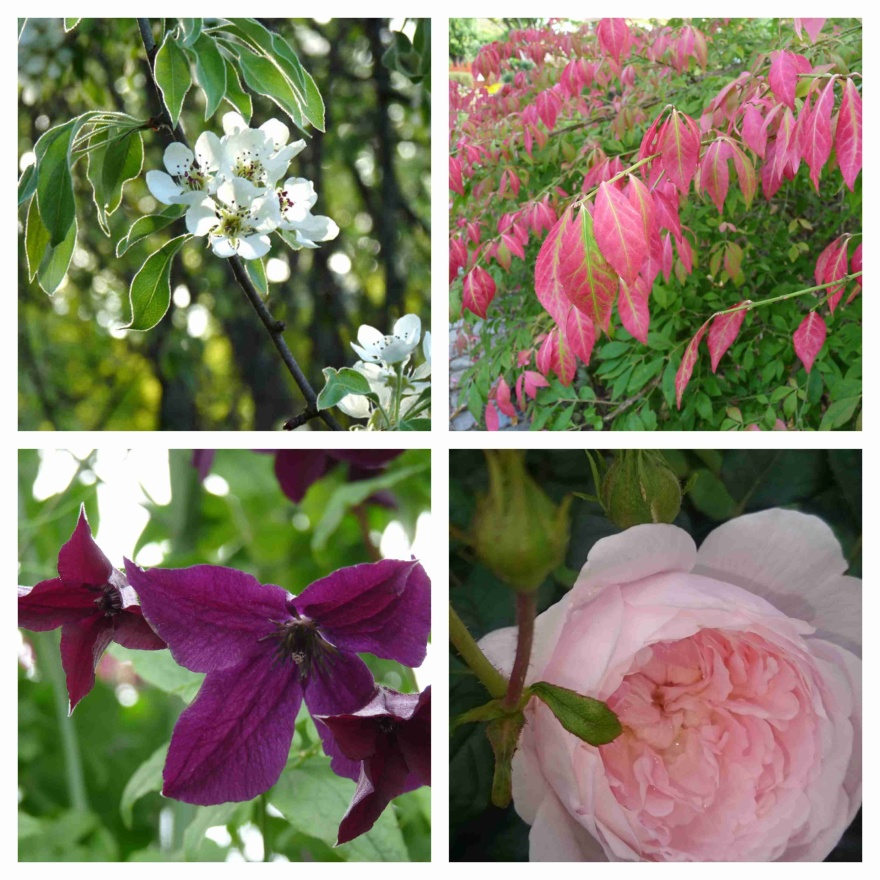 Blommande silverpäron, vingbenved, klematis 'Black Prince' och rosen 'Queen of Sweden'
