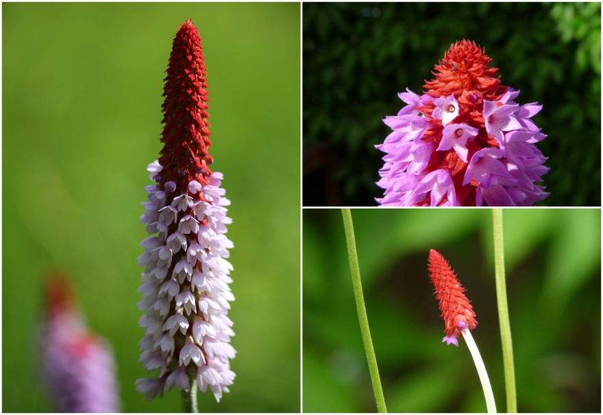 Primula vialii, hyacintviva i olika stadier från knopp till blomning. Bilden till vänster kommer från Pixabay.com. Övriga bilder är mina egna.
