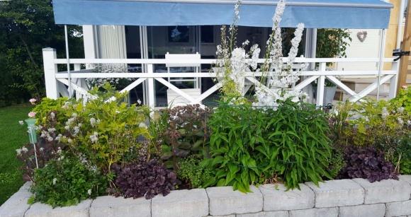 På sommaren är rabatten frodigt grön med rödbladiga inslag och mestadels vita blommor. Foto: Marie Hallén