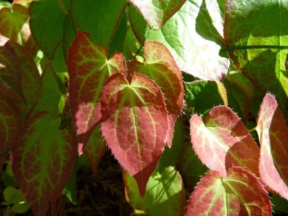 Röd sockblomma har gröna blad med rodnande kanter. På hösten blir bladen allt rödare.