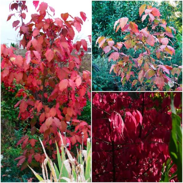 Flera buskar i släktet benved (Euonymus) får oerhört läckra höstfärger och kan i stort sett lysa upp en hel trädgård.
