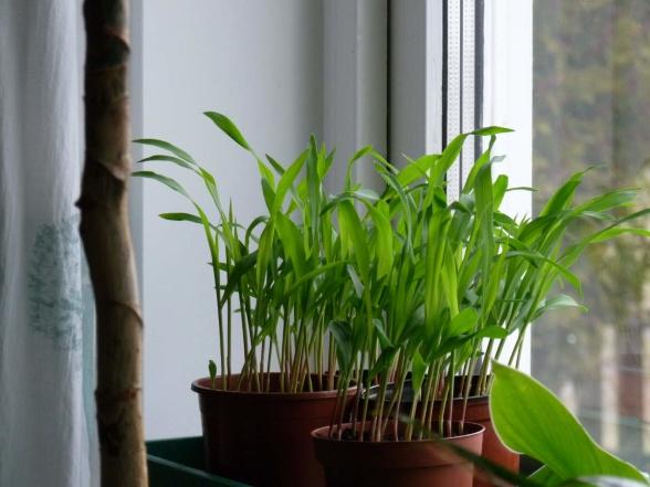 Ännu en bild från 15 april där man riktigt ser hur plantorna söker sig mot ljuset utanför.