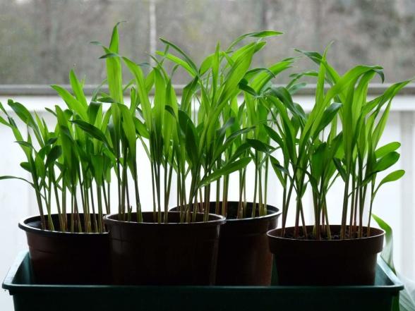 Den 15 april, 10 dagar efter sådden, hade plantorna grott och växt till drygt 1 decimeters höjd.
