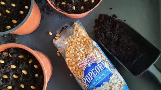 Den 5 april sådde jag ca 15 popcorn/majskärnor i varje kruka