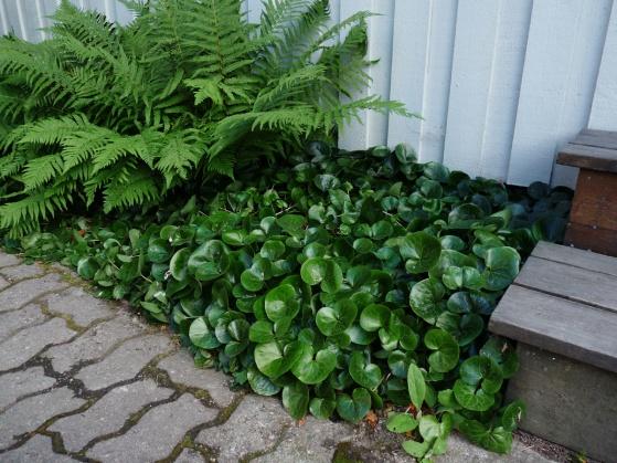 En vacker tät växtmatta i torrt skuggigt läge under takutsprånget. Rabatten skulle här behöva lyftas ut en bit från väggen för att minska risken för fuktskador på husgrundet.
