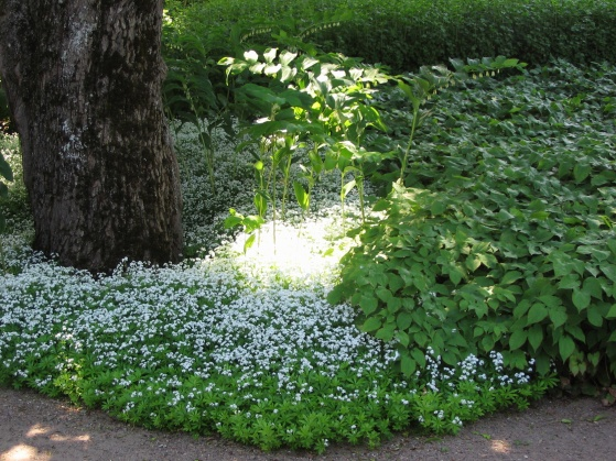 Mycket finare med marktäckande växter än med en gles gräsmatta som vantrivs i skuggan. Här är myskmadra och blekgul sockblomma med någon slags rams, kanske storrams, som uppstickare.
