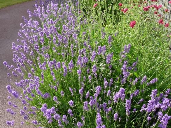 Mjukt formad lavendel och grekvädd. Två vackra perenner som båda lockar till sig fjärilar.