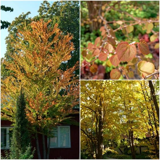 Katsura är ett vackert träd som får guld- till bronsfärgade blad på hösten.