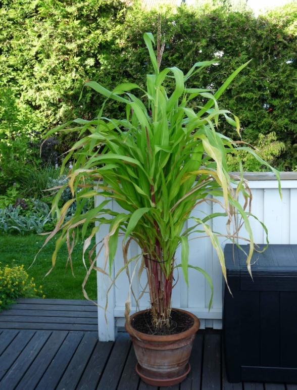 Efter ett par omplanteringar och några månader till har plantorna växt sig riktigt stora. Den här bilden är från 16 augusti och den verkar trivas väldigt bra i den stora krukan och vi har kunnat njuta av de gröna frodiga plantorna och rasslandet i vinden hela sommaren.