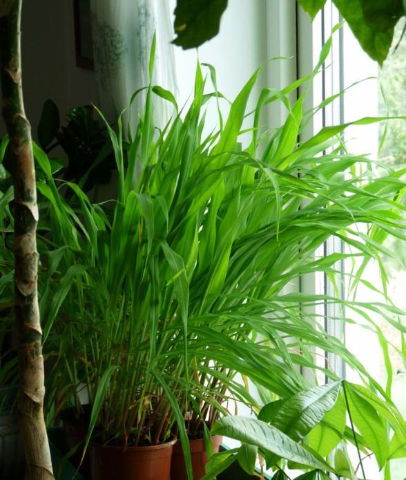 Redan tredje maj har de hunnit bli så här stora. Härlig växtkraft!