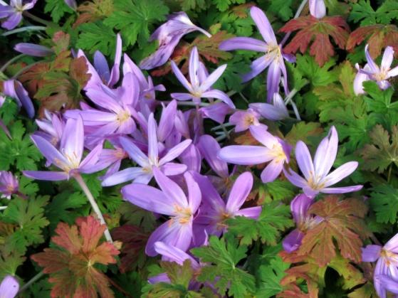 Colchicum 'Lilac Wonder', tidlösa