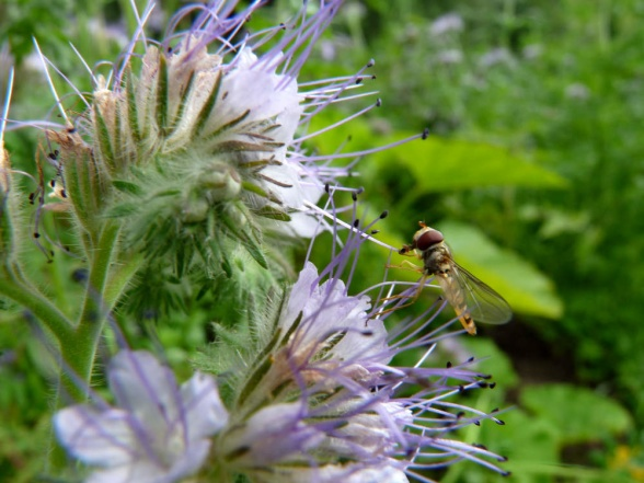Blomfluga på honungsfacelia, liten och rätt söt :)