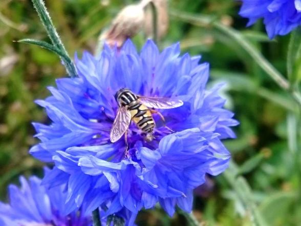 Ännu en blomfluga, Helophilus pendulus, på blåklint.