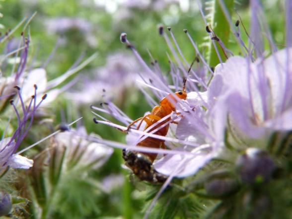 Prästbagge, Rhagonycha fulva, på honungsfacelia.