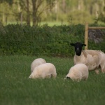 13102, embryo from Dell Hoununa with her lambs at side