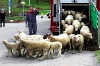 Lammsläppet vid Stora Skuggan