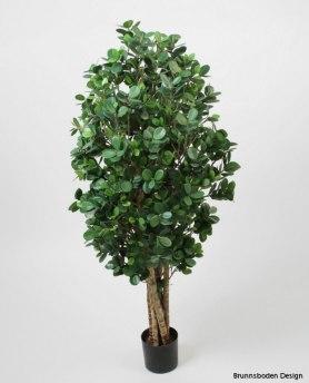 Ficus Panda - Ficus Panda