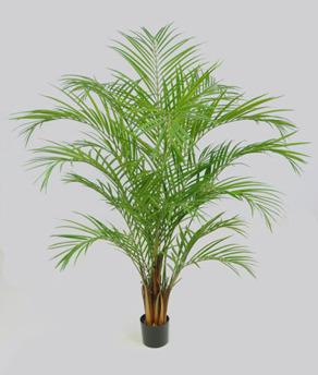 Areca Palm 170cm -