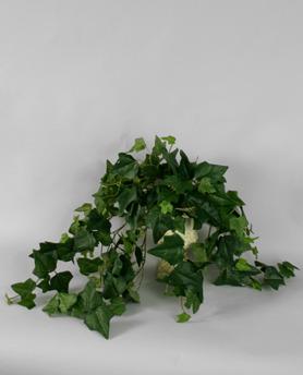 English Ivy Bush 6-pack -