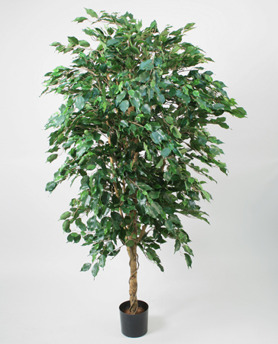 Ficustree 300cm - Ficustree 300cm