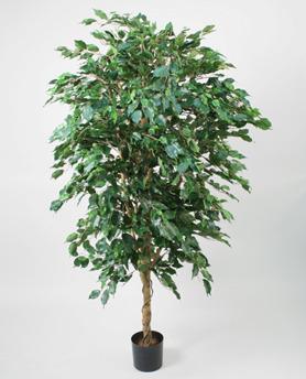 Ficusträd Höjd 330 cm - Ficusträd Höjd 330 cm