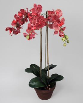 Orchid Phalanopsis cerise 75cm - 842-4 Phalanopsis Ceris 75cm
