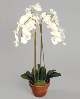 Phalanopsis Cream 75cm - 842-1 Phalanopsis Cream 75 cm