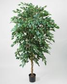 Ficusträd Höjd 330 cm