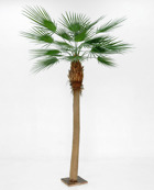 Whasingtonia palm 270 cm